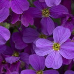Aubretia - Aubretia is also known by the common name lilac bush. It is an eye-catching dwarf, trailing plant covered with flowers in rich purple shades that continues right through Spring. Aubretia creates a bold display in rock gardens, walls, borders and containers. Aubretia is an extremely tough, frost tolerant plant that is well suited for problem areas like full sun and sandy, drought-prone soils.