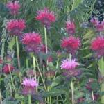 Bergamont Bee Balm Mix - This a mix of two varieties of a spreading plant that has a great aroma. Sprinkle its leaves and flowers in fruit salads. Good plant for poor, well-drained soil. It has a unique flowering habit, funky seed heads which makes it a gorgeous as a cut flower. Butterflies and hummingbirds love this plant and it is drought tolerant and deer resistant.
