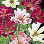 Cosmo Mix - This fabulous flower is an easy to grow mix of pink and white with its petals curled into a tube.  Prefers poor soil conditions and shelter from strong winds.  Cosmos are great for cut flowers for their unique flowers and airy foliage.