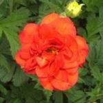 Geum - Provides one of the longer shows of continuous bloom available. Brilliant red double flowers along stems start early and with cutting continues till heavy frost. Deep evergreen foliage is great in beds, borders and rock gardens.