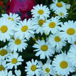 Shasta Daisy - Easy to  grow, these tough plants produce single and semi double blooms up to seven inches across! Fantastic in almost any conditions or soil. Shasta daisy is drought tolerant, deer resistant and self sows easily making them a great addition to any wildflower or rural garden. Cut them back immediately after flowering to encourage a second crop.