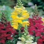 Snapdragon Mix - Many of us remember and love Snapdragons from our childhood. They are easy to grow, cold hardy, free flowering, sweetly scented and make an excellent cut-flower. The blooms are a special adaptation of nature that allows the bumble bee to be the only pollinator strong enough to open them. Snapdragons are deer resistant and self sow making them a perfect pick for wildflower gardens and rural areas. Blooms June to heavy frost.