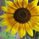 Ring of Fire Sunflower - Striking tri-colored flowers with golden yellow tips and red base that surrounding a dark center. Easy to grow and if left in the garden long enough will act as a natural bird feeders. Great for cut flowers and focal points in your garden beds.