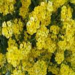 Alyssum - Brilliant golden yellow, hardy, low maintenance, drought tolerant and deer resistant perennial for borders and rock gardens. Creates masses of bright golden yellow flowers on low growing plants in May. Great for early color in your Spring garden.