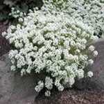 Sweet Alyssum - Foamy white, sweetly scented, early blooms on easy to grow versatile plants. Use in beds, borders or  containers. Flowers are edible. Sweet Alysum is a member of the mustard family. While not frost tolerant, sweet alyssum plants will self sow and can provide you with a returning display of glowing  white in milder climates. Great for a moon garden when planted in masses.
