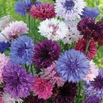 Bachelor Button - Bachelor buttons colourful drifted blossoms are great cut flowers. They are long-lived and cold hardy and do well even in poor soil and dry areas. Great dried flower as the colour remains strong. Just remember to cut them before they are fully open for optimal results.