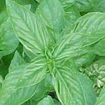 Basil - Lemon  - Lemon Basil is unique on its own and pleasantly compliments another selection of basil we have available. Lime Basil. Lemon basil produces mounds of small lemon scented and flavoured leaves on compact plants. A refreshing addition to salads, pestos or as a garnish. Use fresh, dried or frozen in ice cubes. Hint: Use air temperature water rather than tap water for better production. Water seedlings far from stems(bottom watering highly recommended)especially when young.