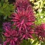 Bee Balm - A slow spreading plant that has a great aroma. Sprinkle its leaves and flowers in fruit salads. Good plant for poor, well drained soil. It has a unique flowering habit, funky seed heads which makes it a gorgeous as a cut flower. Butterflies and hummingbirds love this plant and it is drought tolerant and deer resistant.