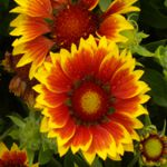Blanket Flower - These compact plants, grow  in mounds that produce a fiery bloom on sturdy stem. Blanket flower are an extremely drought tolerant, hardy and deer resistant addition to any bed border or container planting. Wonderful long lasting cut- flower for table size bouquets.