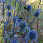 Sea Holly - Dried flower rock star!As you can see by the image the bees adore this plant. Vibrant silver-blue foliage with metallic blue seedpods that sport radiant spiny bracts. Excellent in cut flowers & dried arrangements. Cut before they fully open as these will continue to open in the drying process. Hanging them upside down to dry ensures weaker stems do not flop over. A great conversation piece for a dinner bouquet or garden focal point. Long grown in seaside gardens for its salt tolerance. Deer resistant.