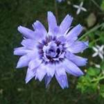 Cupids Dart - Cupids dart blooms in its first year. It has attractive gray green foliage with paper like purple/blue blooms that make superb dried flowers with colour that lasts for ages. Cupids Dart is drought tolerant once established. - Click for more details!