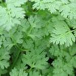 Chervil - Great fresh or frozen. Difficult to find in stores. Use this parsley flavoured, quick growing plant as a late addition to cooked foods. 