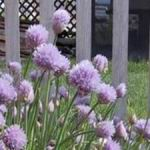 Chives - Cold hardy and easy to grow. Chives produce best in the rich well-drained soil. Plant throughout your garden, as it has a long history of natural insect control in the garden. A must-have for any healthy vegetable garden. Flowering chives slender, cylindrical leaves appear in early Spring. Flowering chives has an edible flower that appears in June and July. The stems and the light purple florets both have a pleasantly mild onion flavour for an attractive & tasty topping for baked potatoes, salads and soups.