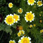 Daisy -  Edible Shingiku  - Brilliant yellow, edible flowers 3 cm across with a deeper yellow center. Produces abundant edible blooms season. Adds interest to summer salads. Bees adore it. Also makes great mulch for winterizing beds and garden edges.