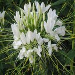 Cleome - Large outstanding drought resistant plants. Looks great in a mass in beds. Long lasting cut flower. Called spider flower for its long leg like decorative seedpods.