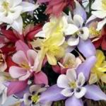 Columbine Mix - Flowers make a bold statement in beds borders, rock gardens and early bouquets. Grows well in part to full shade. Great selection for naturalized or woodland gardens.Gorgeous! - Click for more details!