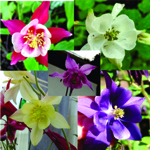 Columbine Mix - Our Columbine patch was extraordinary this year. Now yours will be too! Early Flowers make a bold statement in beds borders, rock gardens and early bouquets. Grows well in part to full shade. Great selection for naturalized or woodland gardens. Gorgeous!