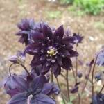 Columbine Purple - Superb deep purple pleated flowers that make a bold statement in beds borders, rock gardens and early bouquets. Grows well in part to full shade. - Click for more details!