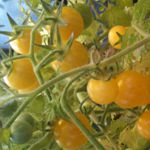 White Rabbit Tomato (Rare) - Heritage and Rare. Delightful as Coyote White but on the milder side. Sweet ,thin skins, no cracking, and as the name may imply, a prolific producer of glorious pale yellow orbs, that almost melt in your mouth.