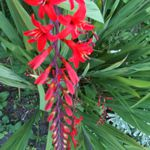 Crocosmia - Striking red flowers on gracefully arched stems that rise above sword shaped leaves. An absolute magnet for Hummingbirds. Crocosmia is a drought tolerant, deer resistant, corm forming plant for beds, borders and under roof eaves.Great addition to any cut-flower garden.