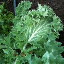 Kale - Cold tolerant beauty with crumpled decorative edges. The plant grows easily and quickly and makes it an excellent winter greens that are high in nutrients and flavour. A must-have for any Salad Garden.  - Click for more details!