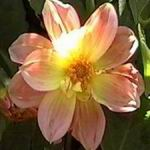 Fancy Dahlia - Picture is only one of many colors in this mix of single or double and semi double flowers in a vast range of colors and combination. Flowers only 70 days from seed.  Produces ample cut flowers. May be treated as an annual or stored tubers.
