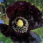 Deep Purple Poppy -  This popular poppy is sure to catch the eye of passers by.  Flowers are dark purple in bud and slowly fade away to a light purple, leaving a decorative seed pod that can be used in dried floral arrangements. The Poppy is known for it's deer resistance and self sowing capability, making it a great selection for wildflower gardens in rural areas. Stunning in any garden setting.