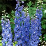 Delphinium - Great early cut-flower. Deer resistant, drought tolerant and an early bloomer that produces a bounty of truly stunning  bi-colour and tri-colour flowers.(Especially in second and subsequent years.) Provide even moisture and bright light for best results. A hummingbird favorite.