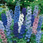 Delphinium Mixed Colors - This mix is full of deep and pastel colour. Cut the flowers to encourage more blooms. Hummingbirds and Bees love the rich colour and nectar of these show stoppers. Delphinium makes a stunning statement in any garden or bouquet. - Click for more details!