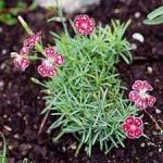 Sweet William - Very compact plants in red, pink and white in a variety of color combinations that bring a cheery feel to any garden and bouquet.Scented!