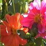 Dahlia Mix - A mix of single or double and semi double flowers. Red,white,orange and yellow combinations. Flowers only 70 days from seed. Produces ample cut flowers. May be treated as an annual or stored tubers. - Click for more details!