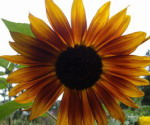 Sunflower - Earthwalker - A strong multibranching type that provides loads of flowers for cutting. Flowers are 6 to 8 in.across in a range of yellows,orange and reds. Produces small black, high oil content seeds that birds love.