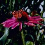 Echinacea - A bouquet sweet scent fills a room and the birds love the seed heads in winter garden. Echinacea is reputed to increase the bodies resistance to infection and colds. Scented, deer resistant ,drought tolerant and attracts beneficial insects. Striking purple daisy like flowers with orange and golden  brown central cones.  A very frost hardy plant that likes full sun and fertile soil and will provide abundant cut-flowers once established.