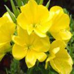 Evening Primrose - Native to Eastern North America this easy growing plant has yellow, slightly phosphorescent flowers with a modest lemon scent that open in the evenings.All parts of this plant are edible; flowers as a salad garnish, leaves cooked as greens and the roots boiled like potatoes. Provides flowers from summer to frost.