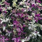 Evening Scented Stock - This plant enjoys Full Sun, attracts butterflies & is AMAZINGLY SWEET SCENTED! A small grouping of plants will fill your senses with an intoxicating sweet aroma in early evening. Easily grown in a variety of conditions, but does best in even moisture.These plants produce a profusion of lilac flowers. Once you have grown them once, you will never want to be without them again. For cut flowers, choose stems with flowers that have just opened. Delicately strip the foliage that will fall below the water level, and place in water immediately. Fabulously scented and delicate addition for baskets, beds and borders.