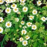 Feverfew - Very reliable and easy to naturalize. These plants produce a mass of citrus smelling leaves and white daisy-like flowers with yellow centers, on multi-branched stems. Feverfew has a very long history in its medicinal uses, such as dispelling fevers and treating arthritis. Good cut flower filler and beneficial insect attractant. Feverfew is deer resistant and drought tolerant.