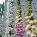 Foxglove Mix - This  variety produces spires of white and pink tubular florets with vividly speckled throats. Flowers 1st year from early sowing fall sowing. Plants are hardy bi-ennials. Useful in a wild flower garden as it self sows easily. Ancients  founded the medicinal uses that are still used today in the treatment of heart problems. Hummingbirds love the early and late blooms. Cut flowering stems down to the ground to encourage second spikes.
