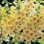 Yellow Foxglove - Foxglove produces spires of large yellow  tubular florets with speckled throats. Flowers 1st year from early sowing. Plants are hardy biennials.Useful as cut-flower or wild flowers. Self sowing.