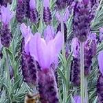 Spanish Lavender - Lavender grows well in any soil.However, for optimal production a dry, sandy and well drained soil in an alkaline range is best.