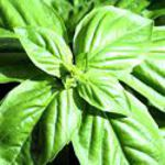 Sweet Basil - Produces large, sweet and flavourful leaves for using fresh or frozen (in ice cubes)or dried. Scent is much milder than other varieties making it a favorite for fresh use. Hint: Use air temperature water rather than tap water for better production. Water seedlings far from stems(bottom watering highly recommended)especially when young.