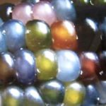 Corn - Glass Gem (Rare) -  Produces plants that grow 1 to 4 ears 3 to 8 inches long depending on the length of growing season, conditions and size of the plant. Proper conditions can yield plants at 5 to 10ft tall. It is a very unique ornamental corn that produces glassy decorative kernels in a wide variety of colours. Dried kernels can be used to produce cornmeal or small white popcorn. VERY RARE! Gorgeous for decorating and crafts.