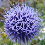 Globe Thistle - Vibrant violet blue with globe shaped flowers on long stemmed silvery blue foliage. Very striking as a cut flower and holds its blue colour amazingly well after drying.  Grows in any soil as long as it is well drained. Deer resistant, drought tolerant and works well in a wildflower garden or herbaceous border. Great addition to a Moon Garden.