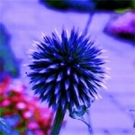 Globe Thistle - Vibrant violet blue with globe shaped flowers on long stemmed silvery blue foliage. Very striking as a cut flower and holds its blue color amazingly well after drying.  Grows in any soil as long as it is well drained. Deer resistant, drought tolerant and works well in wildflower garden or herbaceous border. Great  addition to a Moon Garden.