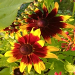 Gloriosa Daisy - Produces loads of super colourful yellow to orange flowers with maroon red centers in various blends. Superb for large containers or beds, dry conditions or poor soil and it will perennialize in warmer climates. Attracts bees and butterflies and is a wonderful cut-flower. - Click for more details!