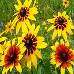 Gloriosa Daisy - Produces loads of super colorful yellow to orange flowers with maroon red centers in various blends. Superb for large containers or beds, dry conditions or poor soil and it will perennialize in warmer climates. Attracts bees and butterflies and is a wonderful cut-flower.