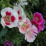 Godetia - Godetia produces mounds of cup-shaped flowers. An early flower that tolerates cooler temperatures of 10 to  15. A second flowering may be attained in fall by summer pruning. These awesome bicolored flowers are a shimmery delight. Great cut flowers, containers, beds and borders.Does well in moist areas and prefers partial shade for best results. Self-sows but does not get weedy. Attract bees and butterflies.