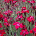 Dianthus - Easy to grow, clump forming growth habit and wonderful clove like scent makes it a great long-lasting, elegant cut flower or filler for table size bouquets. Perfect for beds and borders. Attracts butterflies. - Click for more details!
