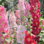 Hollyhock - Stunning mix of tall flowers that make a stunning back drop for any space. Blooming in late June on. Excellent cut flower. Great for the back of borders & beds. Appreciates wind protection.