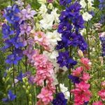 Larkspur - Very easy to  grow these prolific plants that produce a gorgeous mixture of colored single and double blooms, that take on a florescent effect in low light conditions.Does well in rock gardens, beds and moisture retentive soil.Fantastic cut or dried flower source.