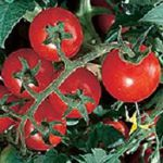 Latah Red Tomato - Latah  Early Red is known for its very early ripening and great flavour. Perfect for short season. Indeterminate.